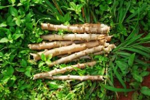 Cassava-cuttings_Humanity-Healing 1