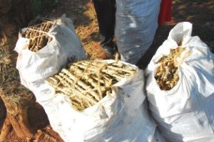 Cassava-cuttings_Humanity-Healing 2