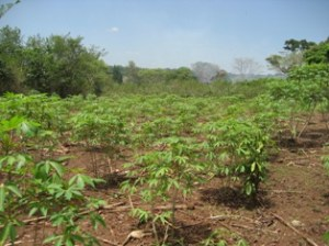 Model Farm_Cassava_Humanity-Healing-International