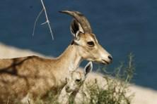 Nubian ibex 1