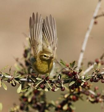 willow-warbler-phylloscopus-trochilus-1