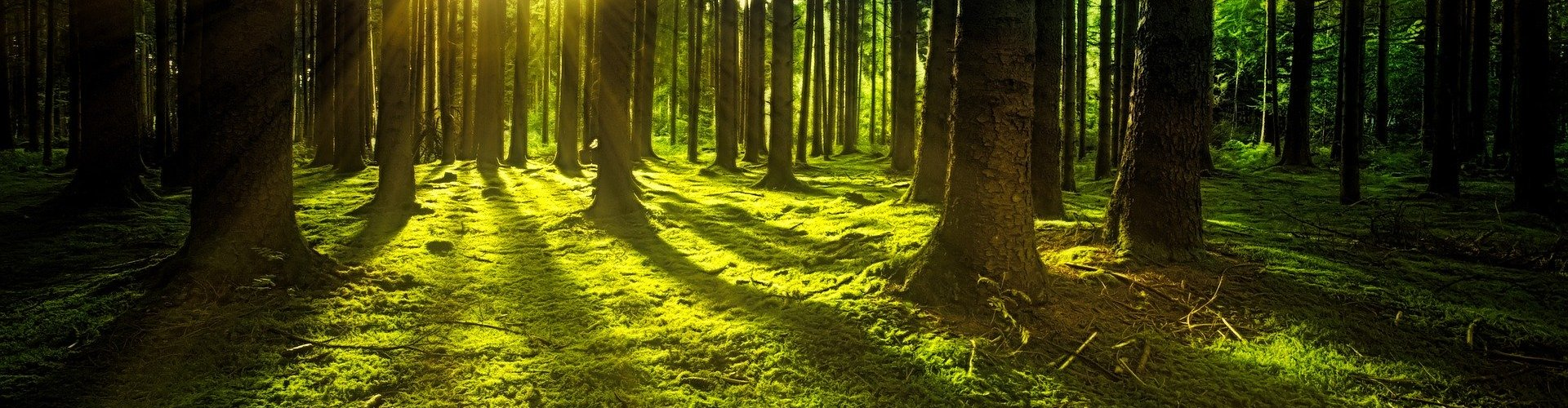 light shining through tree trunks in forest with moss floor
