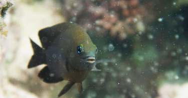 a longfin damselfish