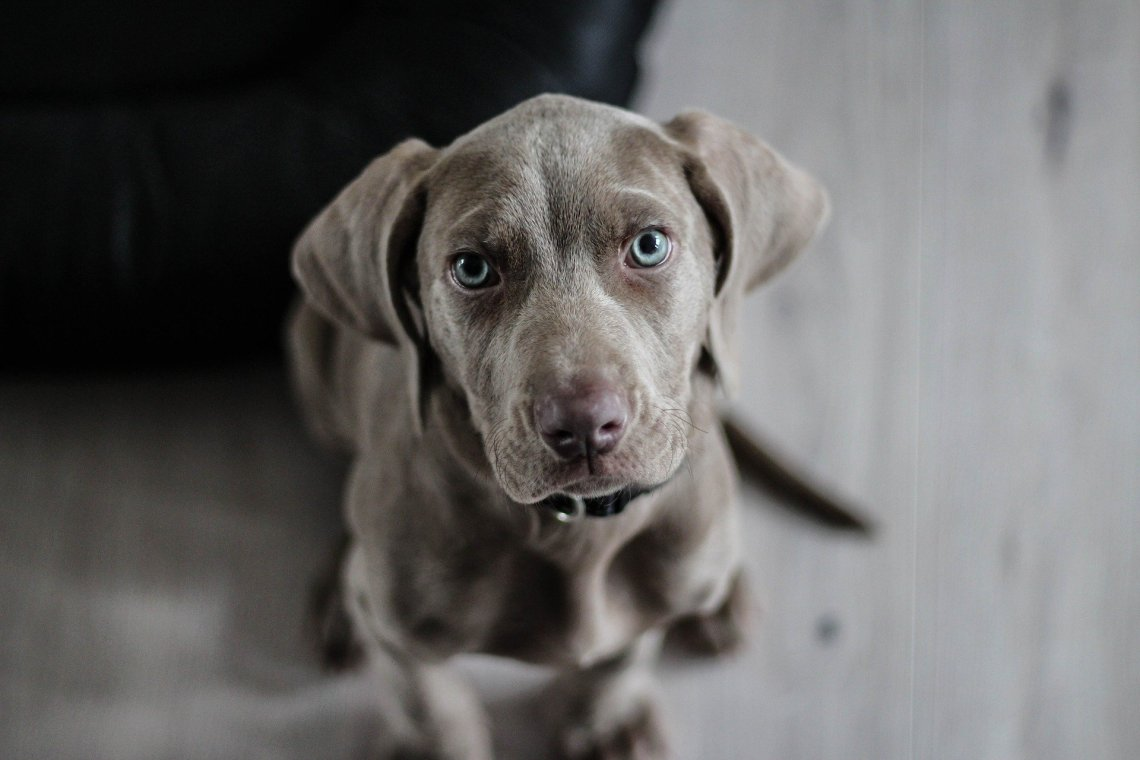weimaraner puppy looking at camera