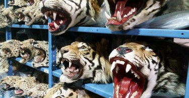 racks filled with tiger pelts