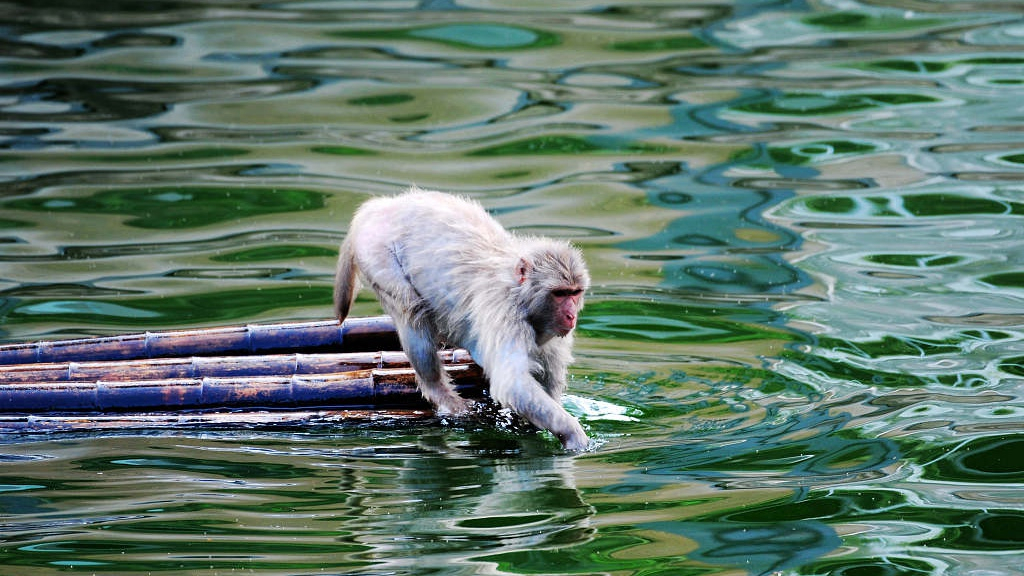 a macaque on a bamboo raft