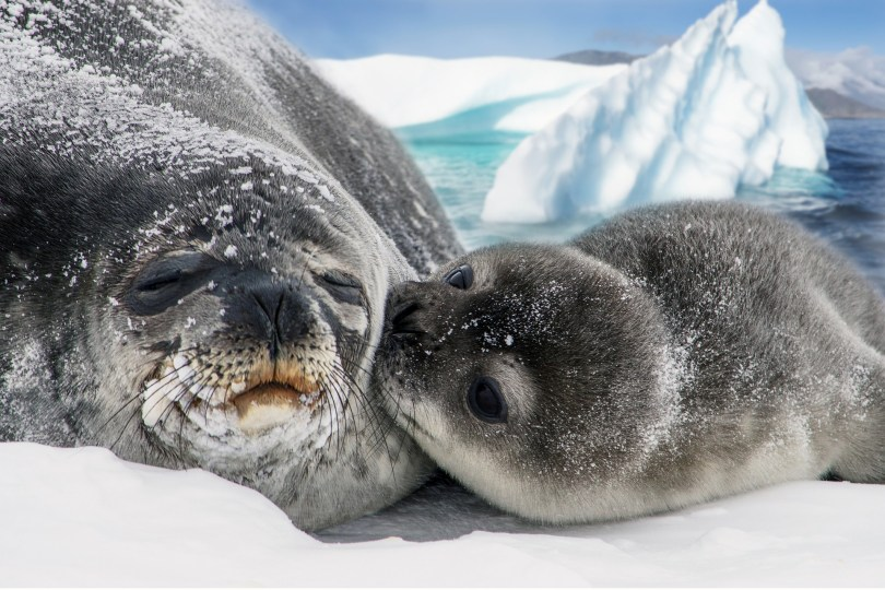 mother seal and her pup on ice