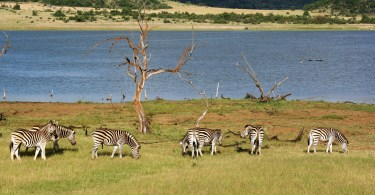 zebra grazing with lake in background
