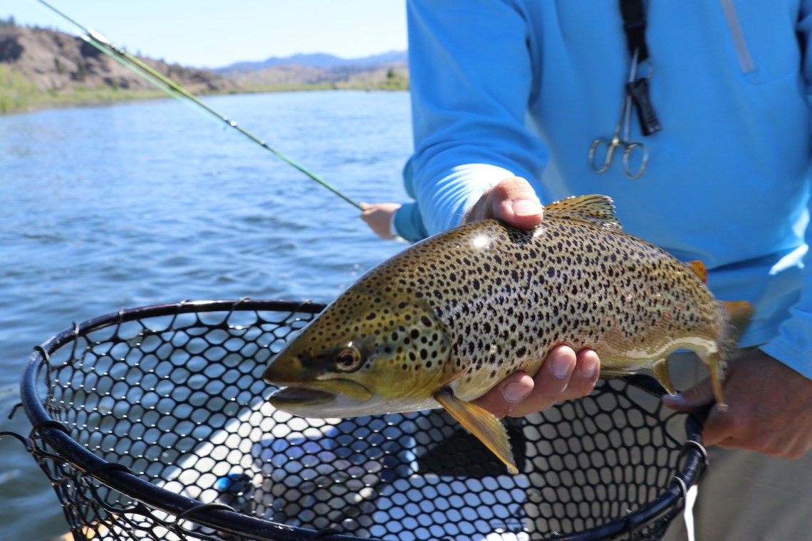 brown trout being held by a fisherman