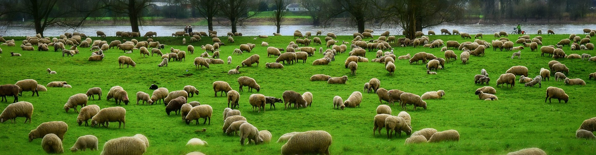 herd of sheep in field with river in background