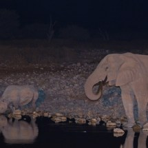 Elephant and rhinos taking a drink