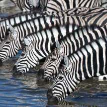 Zebras (drinking at waterhole)