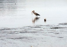 Finally the Half Grown Great Blue Heron gets the fish swallowed down to the tail.