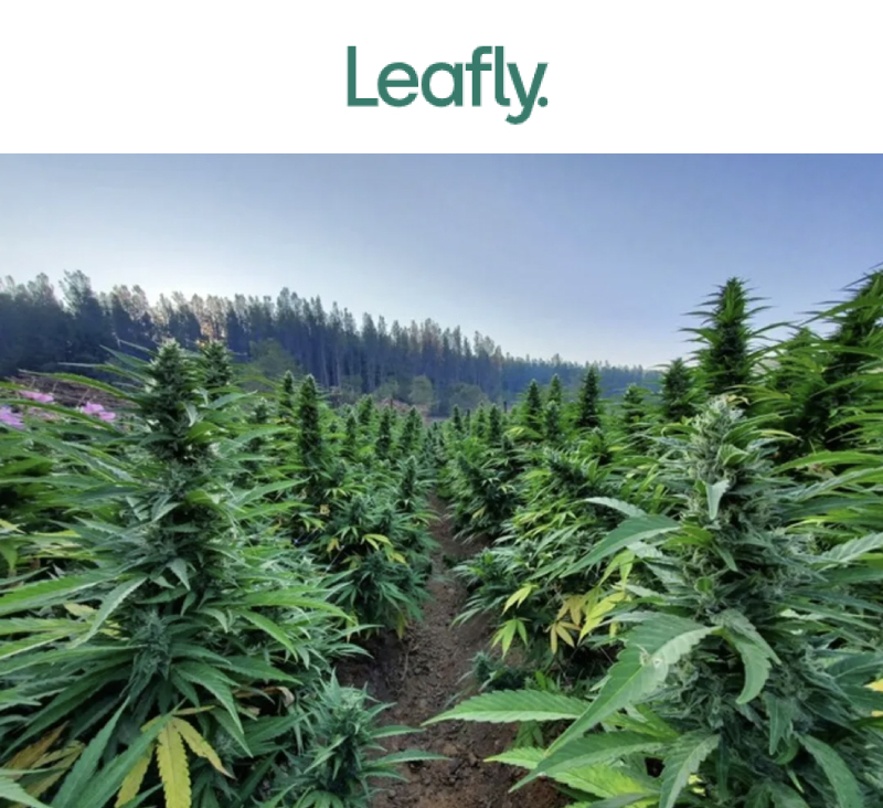 leafly article