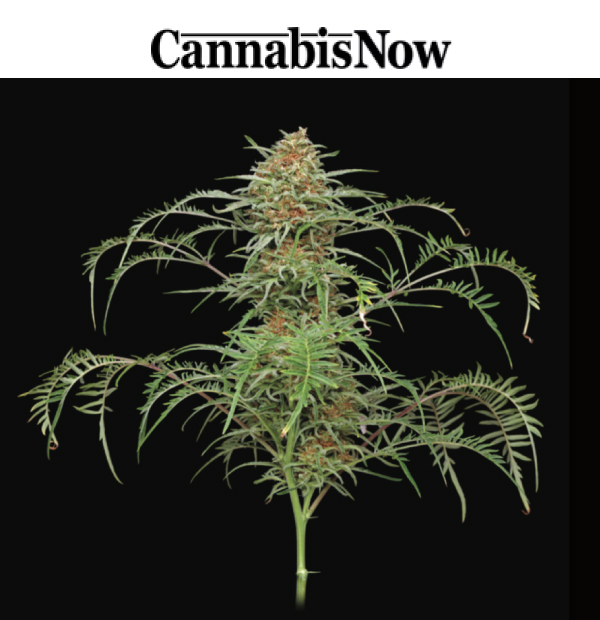 Cannabis Now News Article