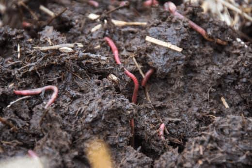 Червоні каліфорнійські черв'яки