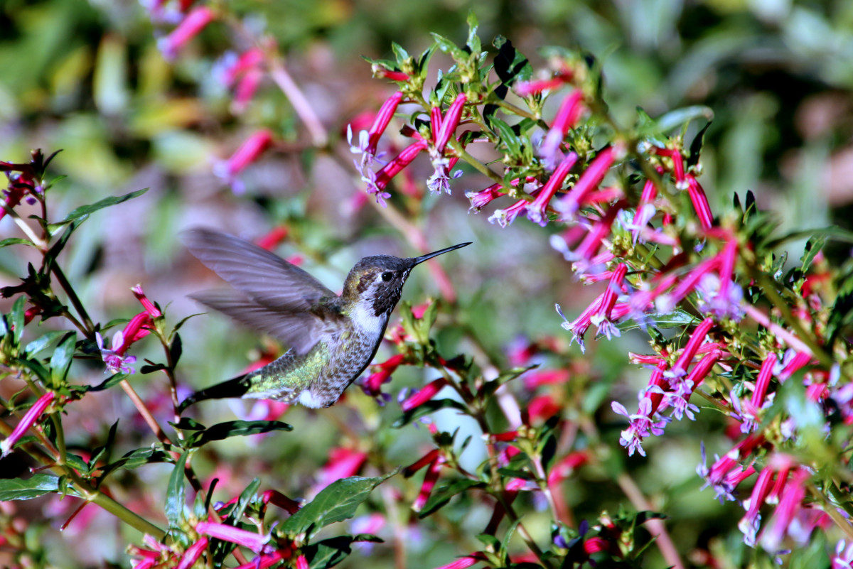 Hummingbird Diet From Nectar To Insects Hummingbird Bliss