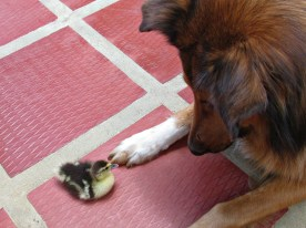 Marley with one of my ducks before it grew up