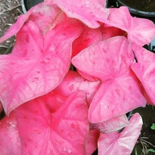 Keladi Sexy Pink