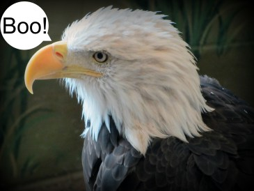 American Bald Eagle boo