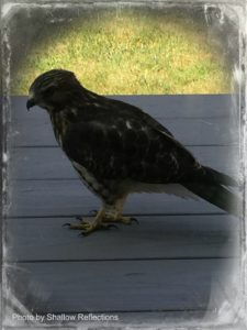 pigon-hawk