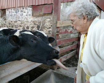 a cow with mom