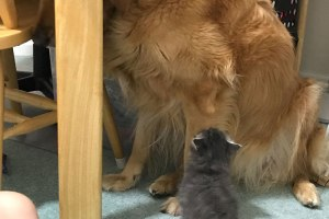 Mon chien de 39 kilos est terrifié par le chaton d'un demi-kilo de ma sœur