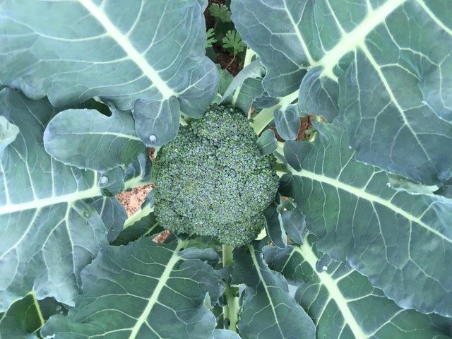 Shade Tree Farm Broccoli
