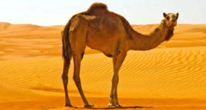 سعودی صحرا میں پھرتا ہوا ایک اونٹ