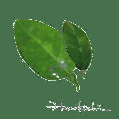 ジャコウライムの葉