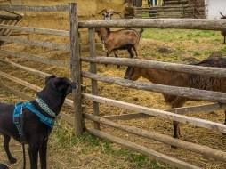 Yassou auf Tuchfühlung mit Ziege, Schafen und Co