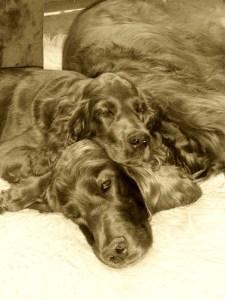 Zwei Irische Setter und einer davon Setterwelpe schlafen