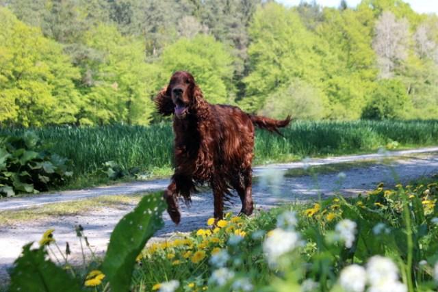 Irischer Setter umgeben von Blumen im Frühling