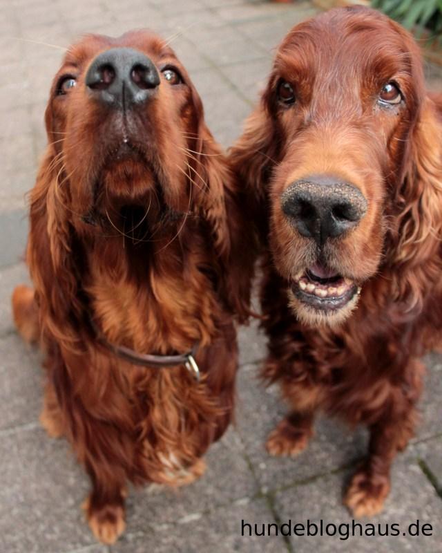 Meine zwei Irischen Setter