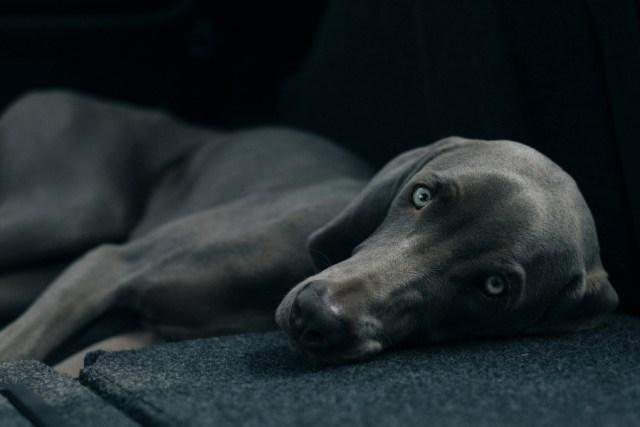 Jagdhund als Familienhund
