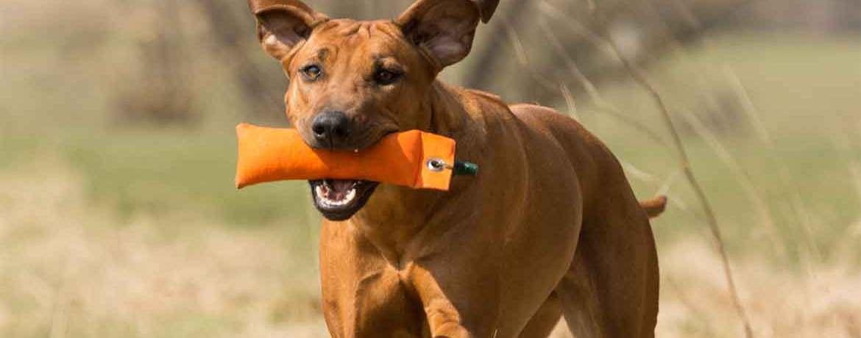 Der Rhodesian Ridgeback Kein Hund Fur Jedermann Schweizer Hunde Magazin