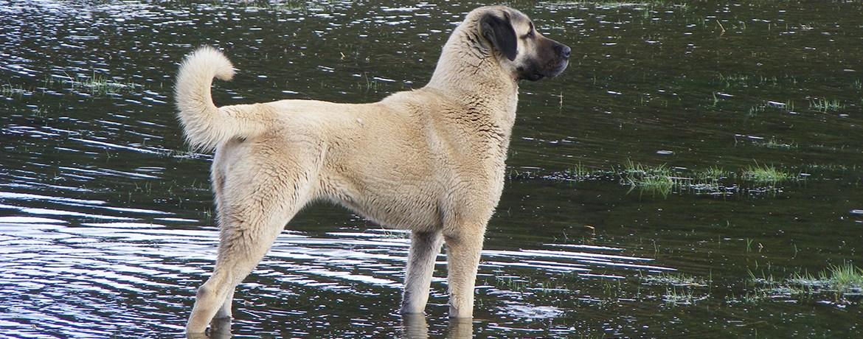 Der Kangal Friedfertiger Riese Oder Gigantischer Kampfhund Schweizer Hunde Magazin