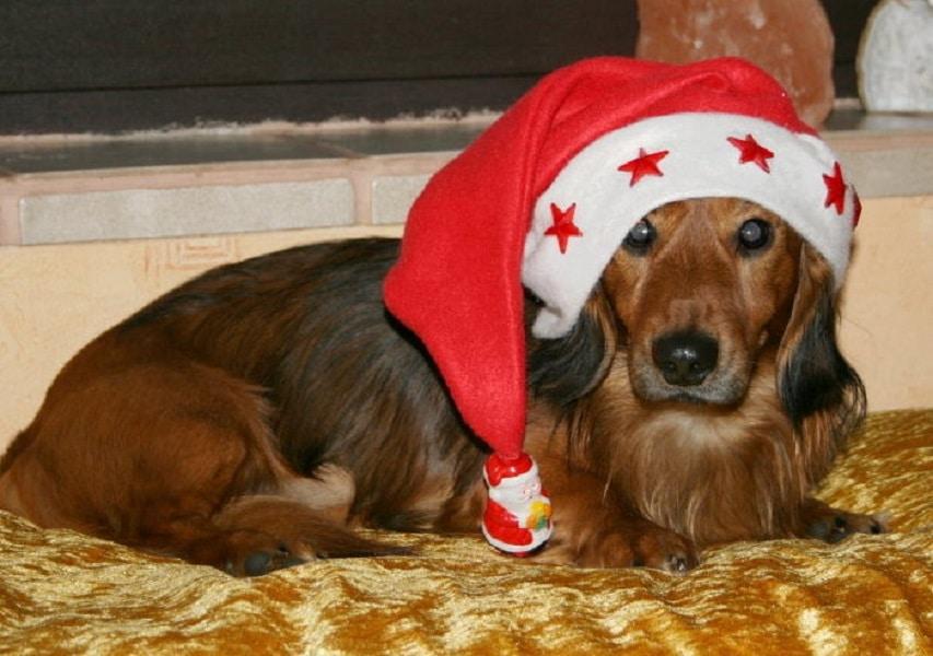 Oscar der Weihnachtshund Nummer 8