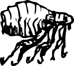 Bild eines Hundeflohs