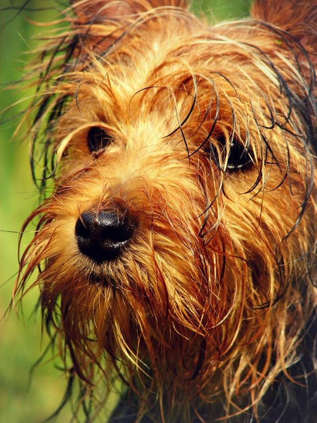 Hundeflohshampo