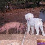 Chelsea und die Schweine