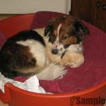 Rescue-Hund Goggle