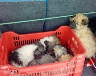 Hamish-Scottish puppies