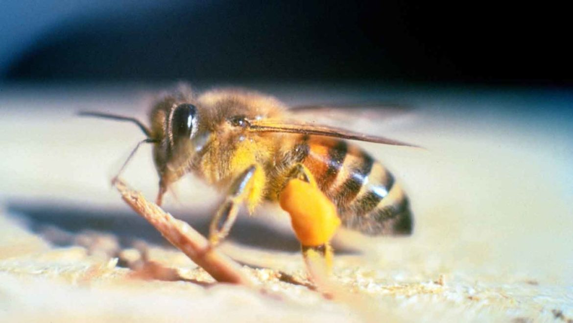 Extreme Heat causing Bumblebee disappearance