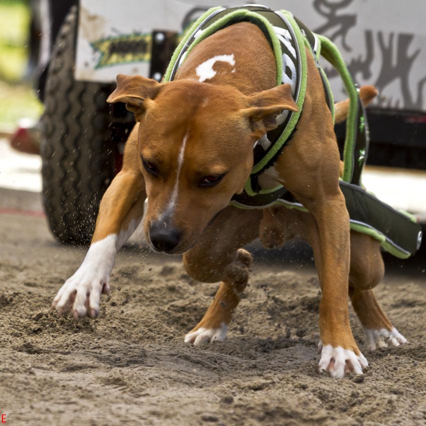 weightpull hundutbildning hundkurs