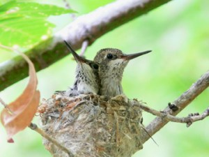 capturing humming birds in a nest with citizen science