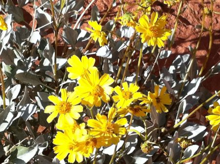 Desert gold tells the secret of desert wildflowers