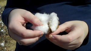 hands on a cotton boll
