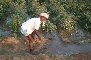 Indian cotton farmer