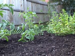 tomato plants and oregano in the garden